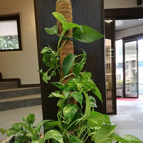 Bastone muschiato in fibra di cocco per piante ornamentali