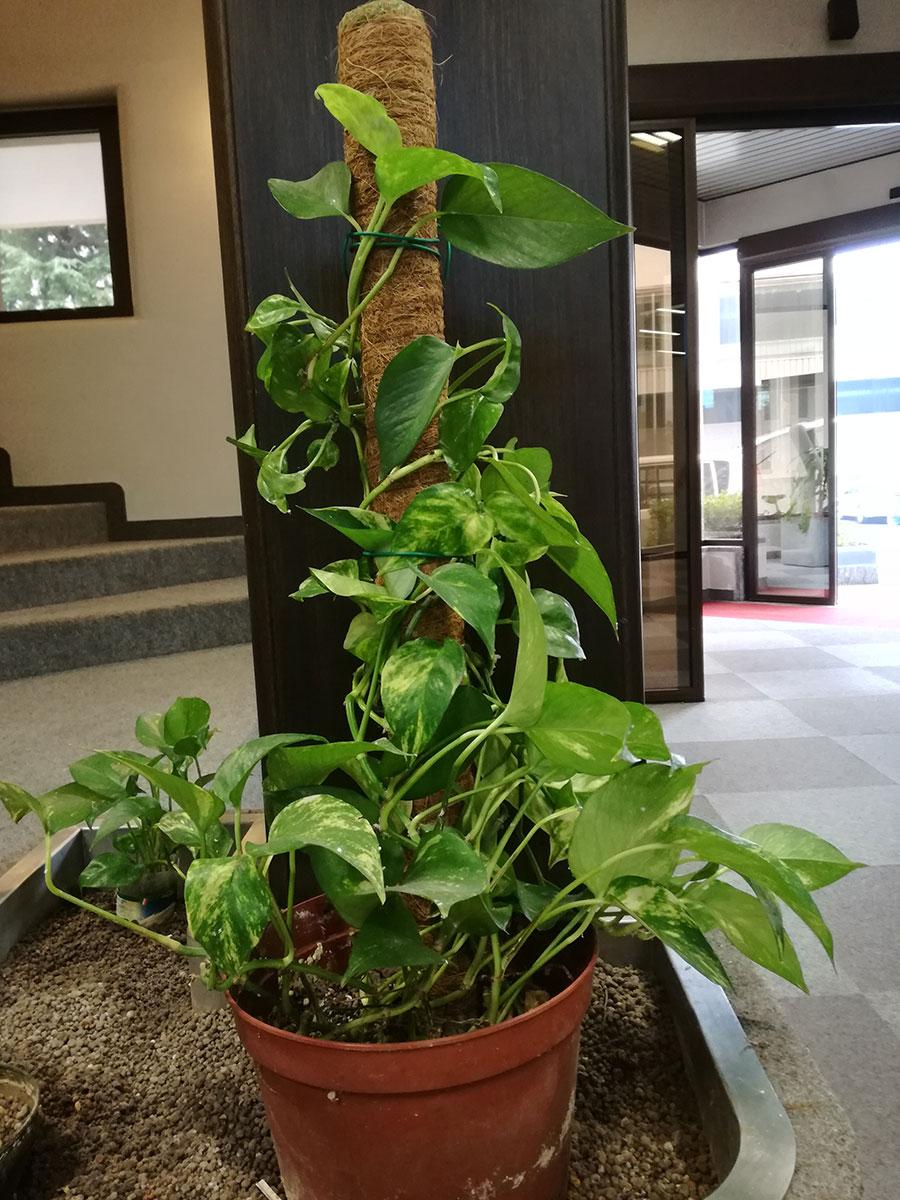 Bastone in fibra di cocco per sostenere piante ornamentali