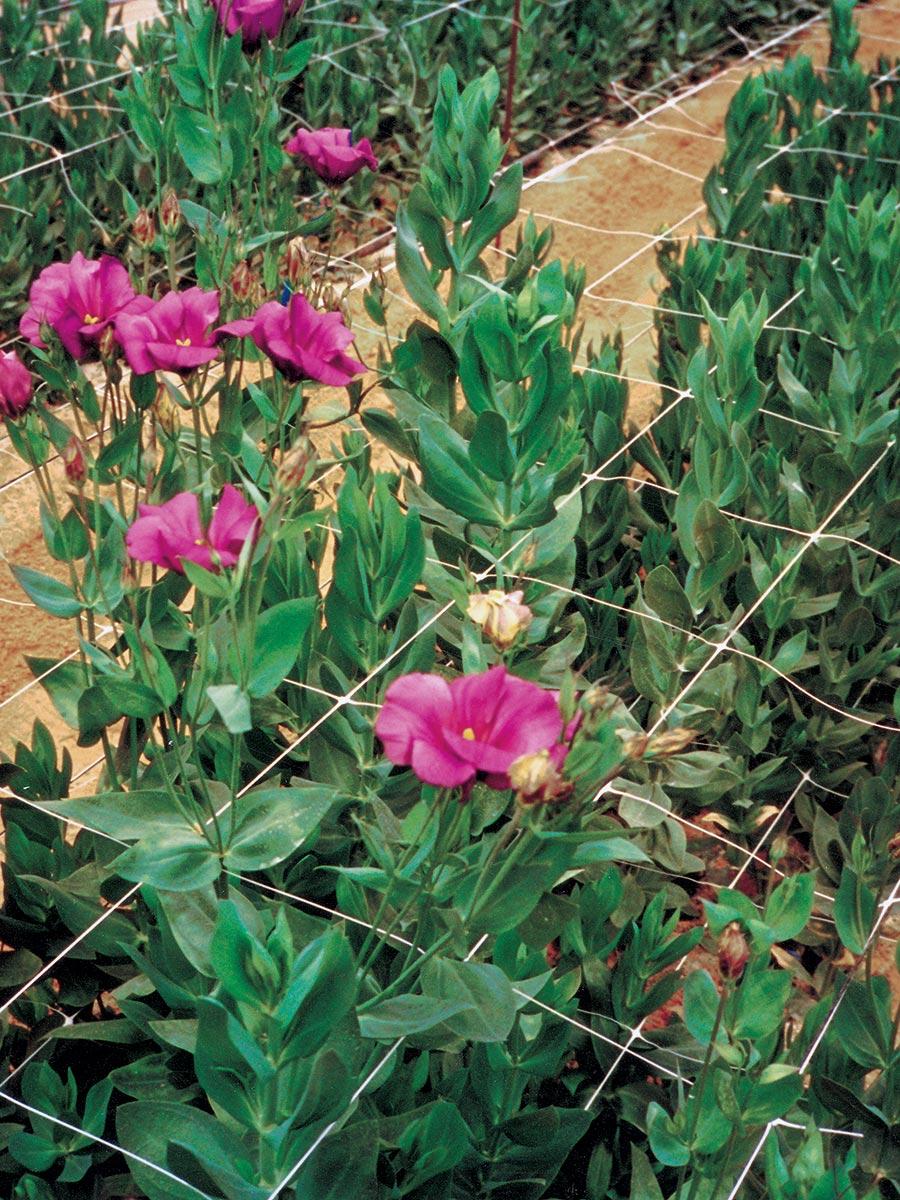 Rete per coltivazione fiori recisi
